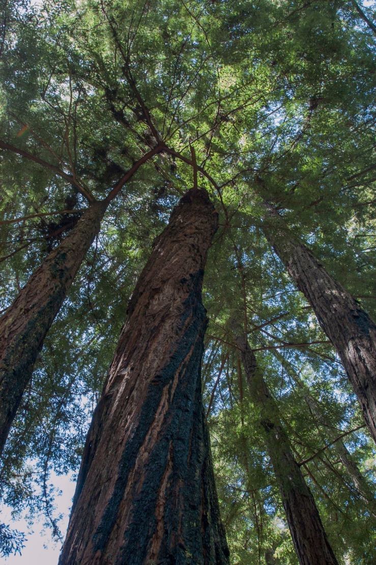 fire-scarred redwood trees in Asa's yard