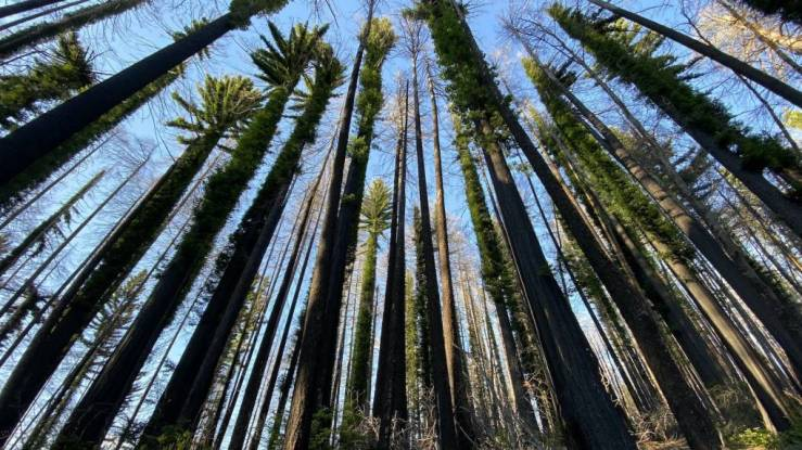Photo from KQED article depicting fire-scarred coast redwood trees with new green growth