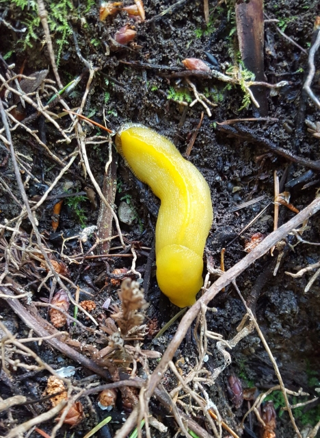 close up on bright yellow banana slug