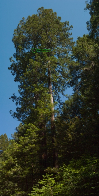 Two tall redwood trees, the left one has a radio mounted near the top which provides Asa with Internet