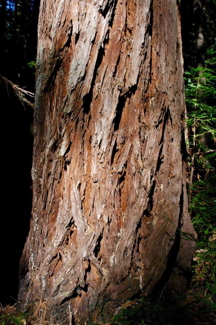 Large redwodd tree with interesting, cris crossing bark patterns