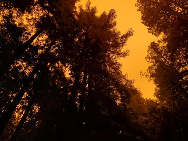 Butterschotch colored sky above the redwood trees