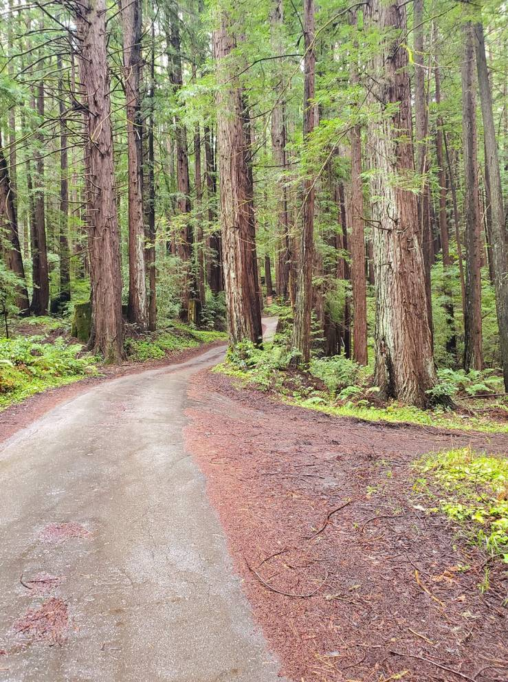 Middleton Tract's Slate Creek Road surrounded by towering redwood trees