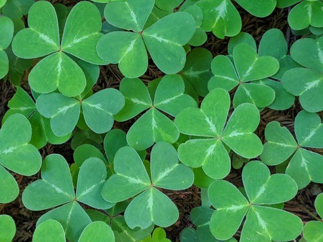 closeup of redwood sorrel leaves