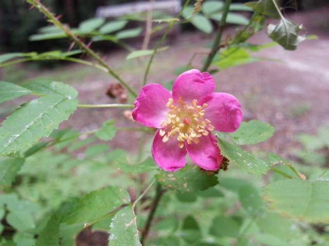close up of a dwarf rose flower with spiny stem in backgroun