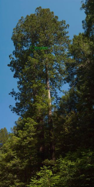 two tall redwood trees